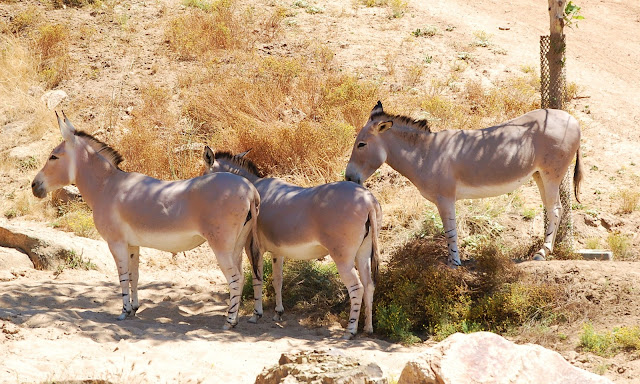 African Wild Ass facts and information 5