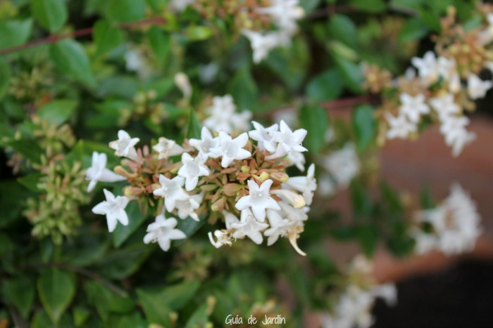 Flores de abelia
