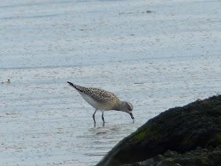 Oiseaux de rivage de l'Isle aux Coudres