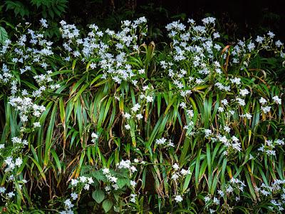 Shaga (Iris japonica) flowers: Kita-kamakura