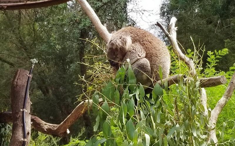 sleeping koala in the tree