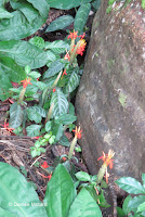 Red flowers against a stone wall - Lyon Arboretum, Manoa Valley, Oahu, HI