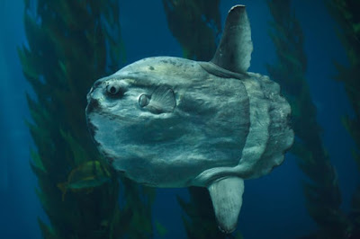 Identify this gross looking marine creature