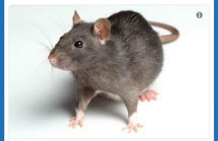 Meet The Rat That Chaded Buhari Out Of Office
