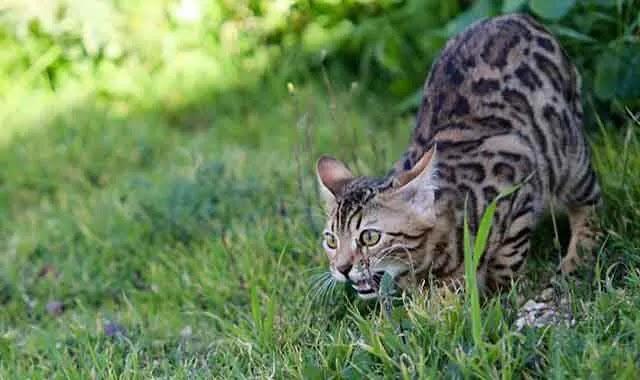 Les chats du Bengale S'enfuient