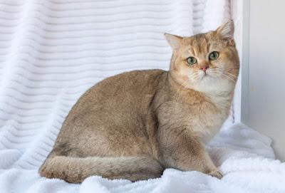 Kucing BSH