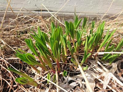 Seiersløk, Allium victorialis