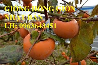 Cung cấp cây giống hồng giòn Nhật Bản, hồng giòn MC1, hồng Fuju Nhật, hồng không hạt chuẩn, giá tốt