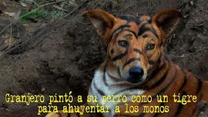 Granjero pintó a su perro como un tigre para ahuyentar a los monos