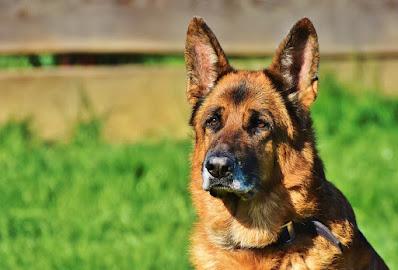 cane-pastore tedesco-sistema di allarme