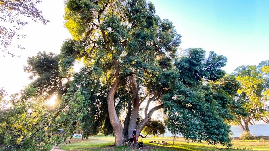 Idas Valley Red Flowering Gum, Champion Tree, Stellenbosch, Majestic Trees of Southern Africa