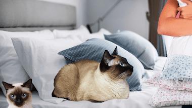 7 razones por las que deberías tener gatos siameses