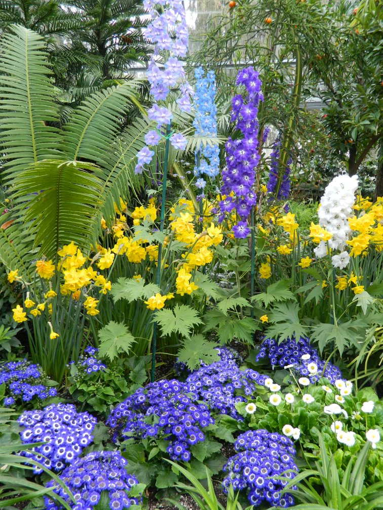 Allan Gardens Conservatory Easter Flower Show 2013 blue white delphiniums blue cineraria yellow daffodils by garden muses: Toronto gardening blog