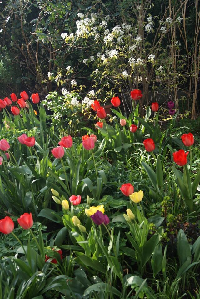 Darwin-Tulpen im April