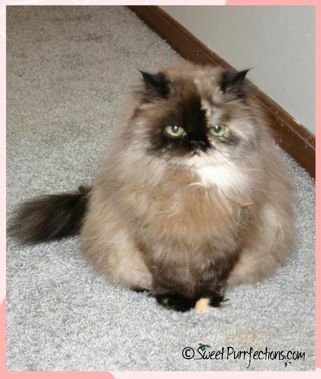 Tortoiseshell Persian cat, Praline, sitting and looking at camera