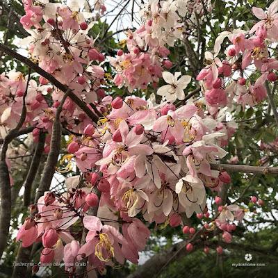 กัลปพฤกษ์ ต้นไม้สารพัดนึก พรรณไม้พื้นเมืองของไทย ดอกใหญ่สีหวานงดงาม