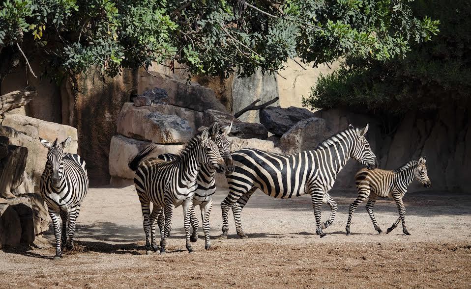 Familia de cebras