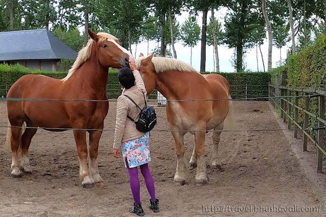 Belgian Draught Horses