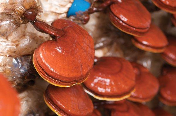 công dụng của nấm linh chi chữa đau xương khớp