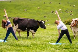 Cow Yoga LivestockTrend