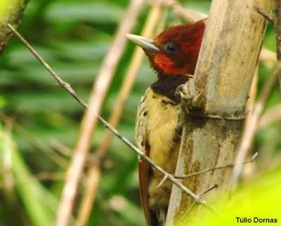 pica-pau-do-parnaíba, Kampfer's Woodpecker,  pica-pau-da-taboca, Brazilian Bamboo Woodpecker , fotos do pica-pau-do-parnaíba, fotos pica-pau-da-taboca, celeus obrieni, pesquisadores propõem novos nomes populares para duas aves endêmicas do Brasil, aves, aves do Tocantins, birding tocantins, natureza, aves em extinção