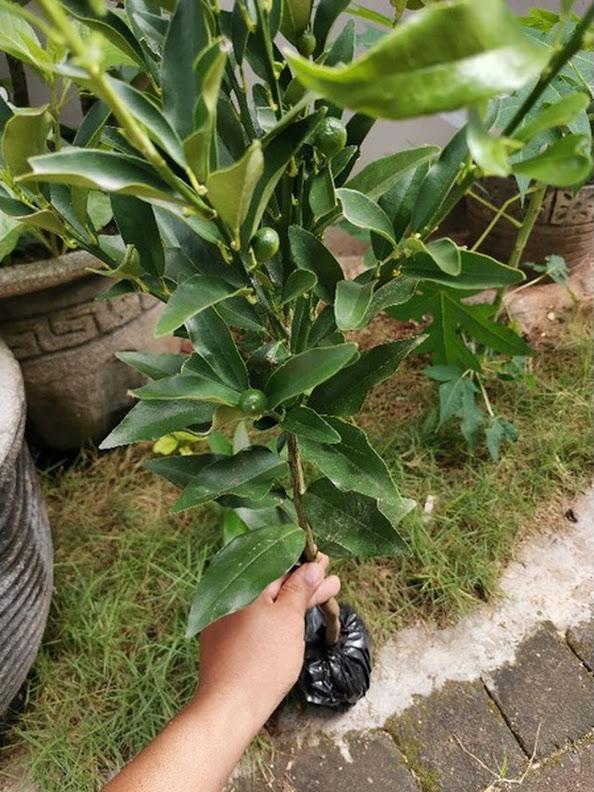 Jeruk Nagami sudah berbuah Sumatra Barat