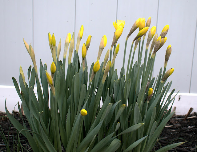 A cluster of daffodils with unblossomed buds.