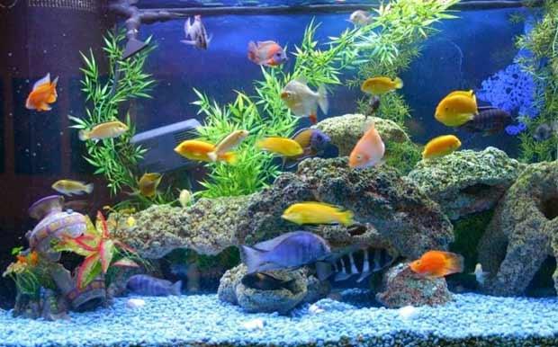 ikan hias air tawar indonesia