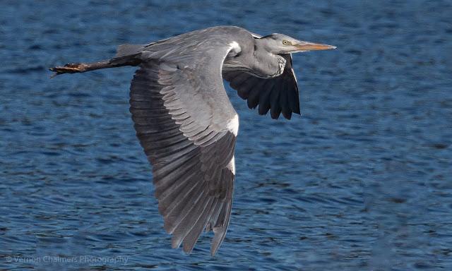Grey Heron in Flight Table Bay Nature Reserve Woodbridge Island Copyright Vernon Chalmers Photography