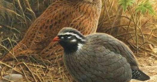 Himalayan Quail: A Missing Bird Species for Over a Century in India | TechGape