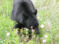 Zwarte beren in de Yukon.