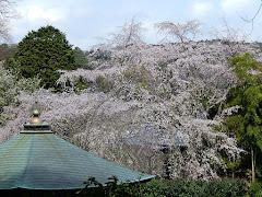 安国論寺の枝垂れ桜
