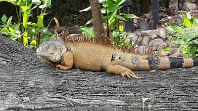 Leguane Thailand
