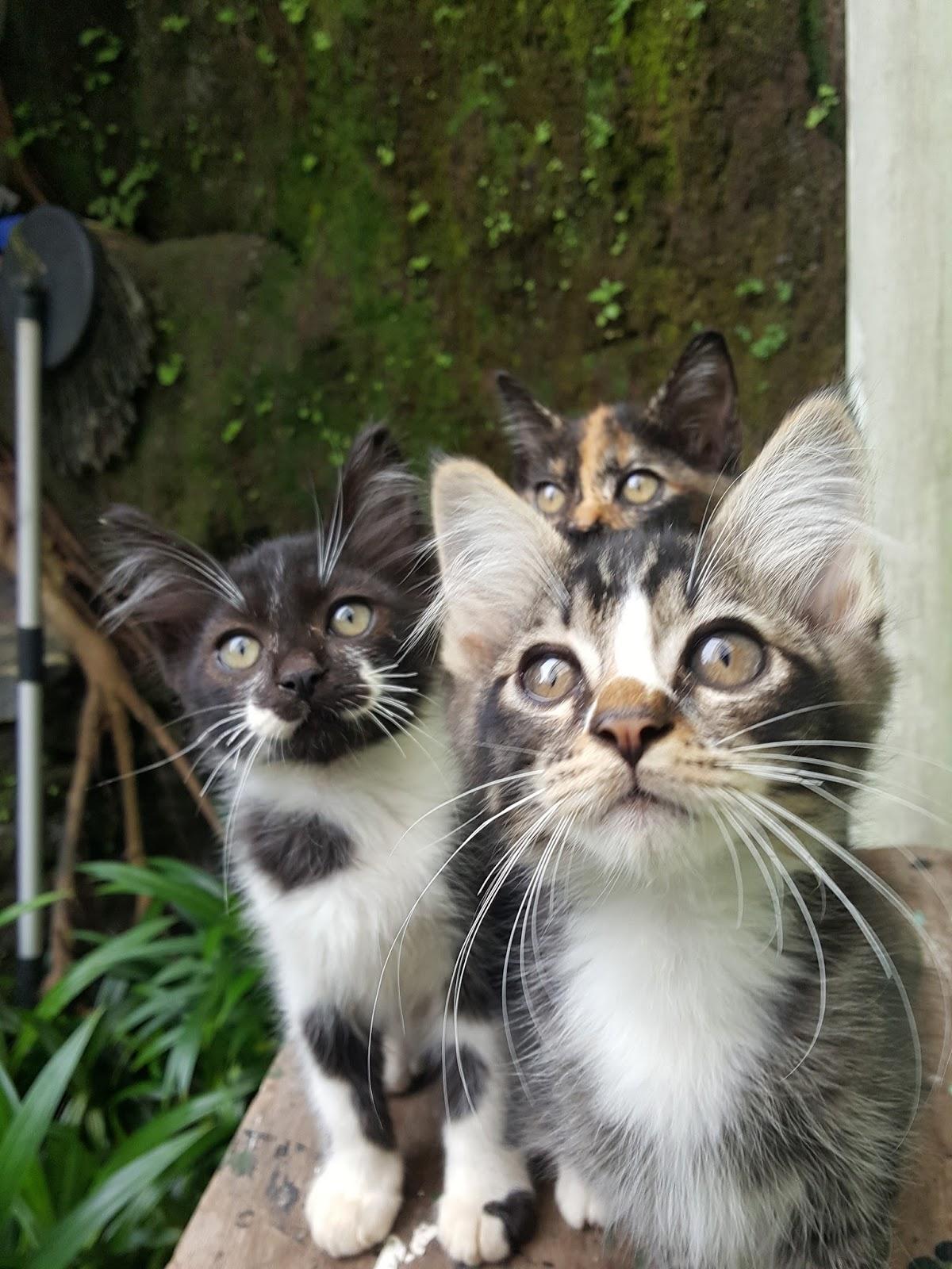 Kucing Kampung Rumahku Beberapa Cara Memelihara Kucing Kampung Agar Bagus Dan Sehat