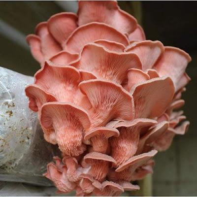 Buy Oyster Mushroom Online