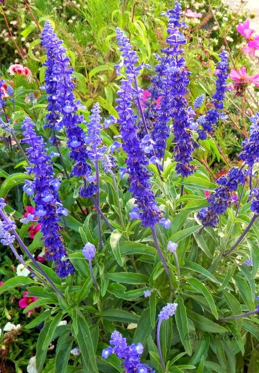 Salvia farinacea flor azul