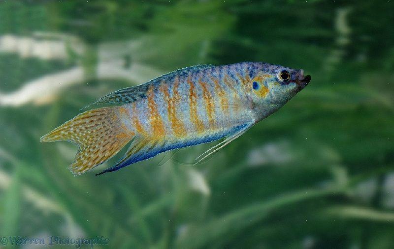 budidaya ikan paradise