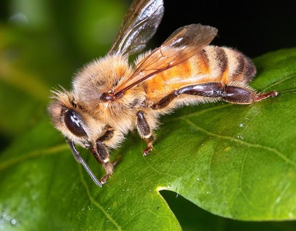Πωλείται μέλι βελανιδιάς στην Κορινθία