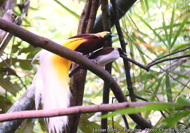 Lesser Birds of Paradise in Susnguakti forest of Manokwari