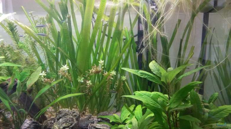 Một bể thủy sinh có trồng cây hẹ