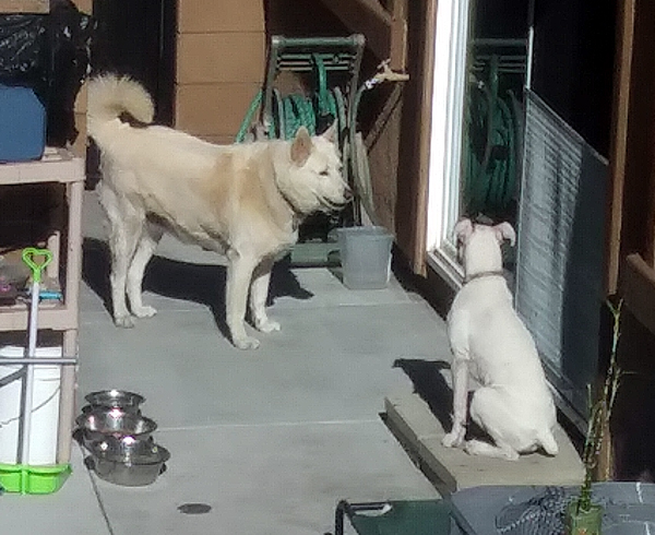 The White Shepherd and American Bulldog milling about in my neighbor's backyard...on April 30, 2021.