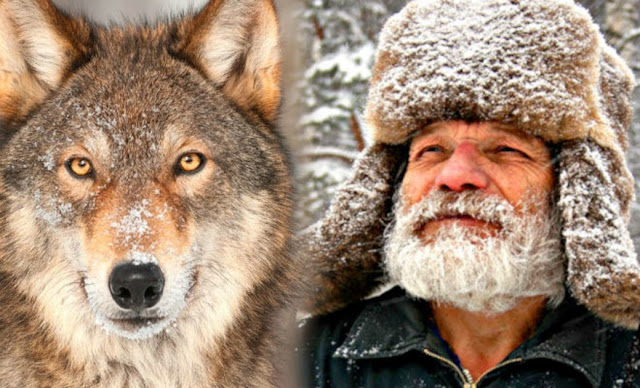 Этот волк рискуя жизнью пришел к человеку за помощью