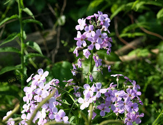 Dame's Rocket, Hesperis natronalis, in bloom, detail