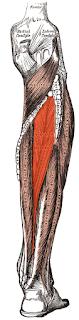 Tibialis posterior- www.physioscare.com