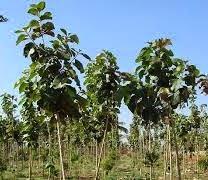 Pohon-Jati-Dan-Manfaat-Serta-Fungsinya
