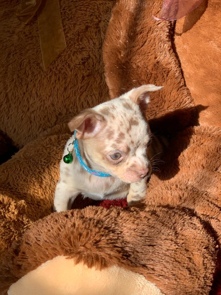 Chihuahua Merle