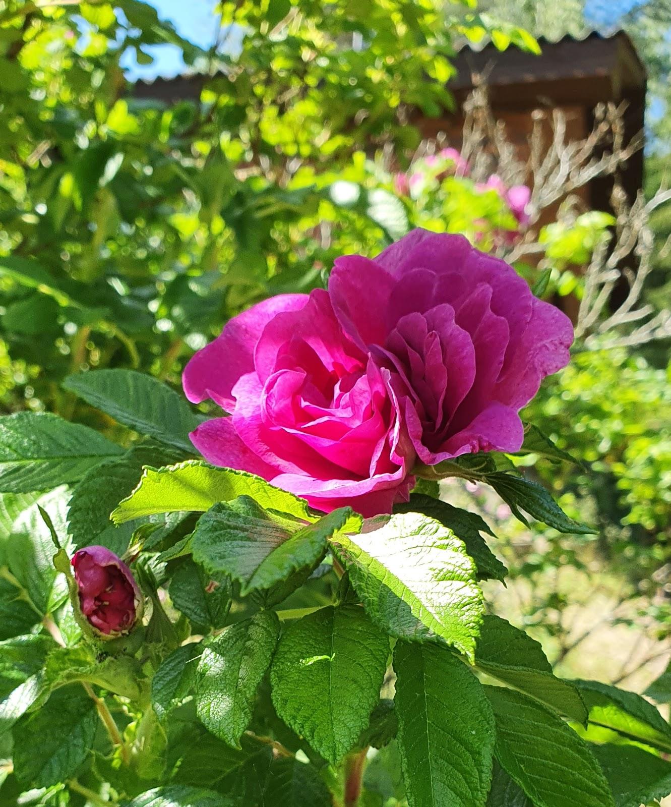 Pinkki ruusu
