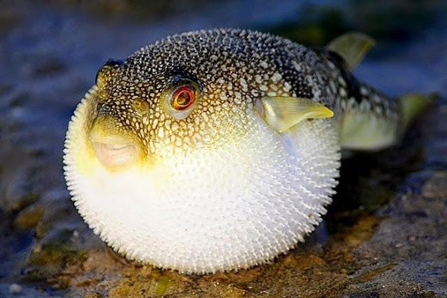 Jenis dan Daftar Harga Ikan Buntal Terbaru