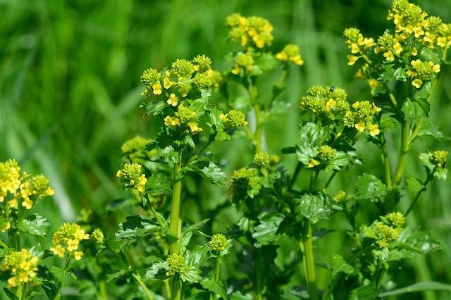Barbarea vulgaris