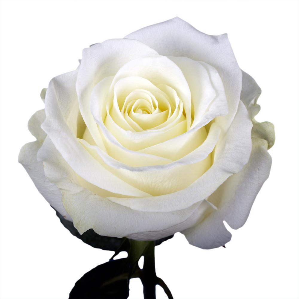 bunga mawar putih cantik indah